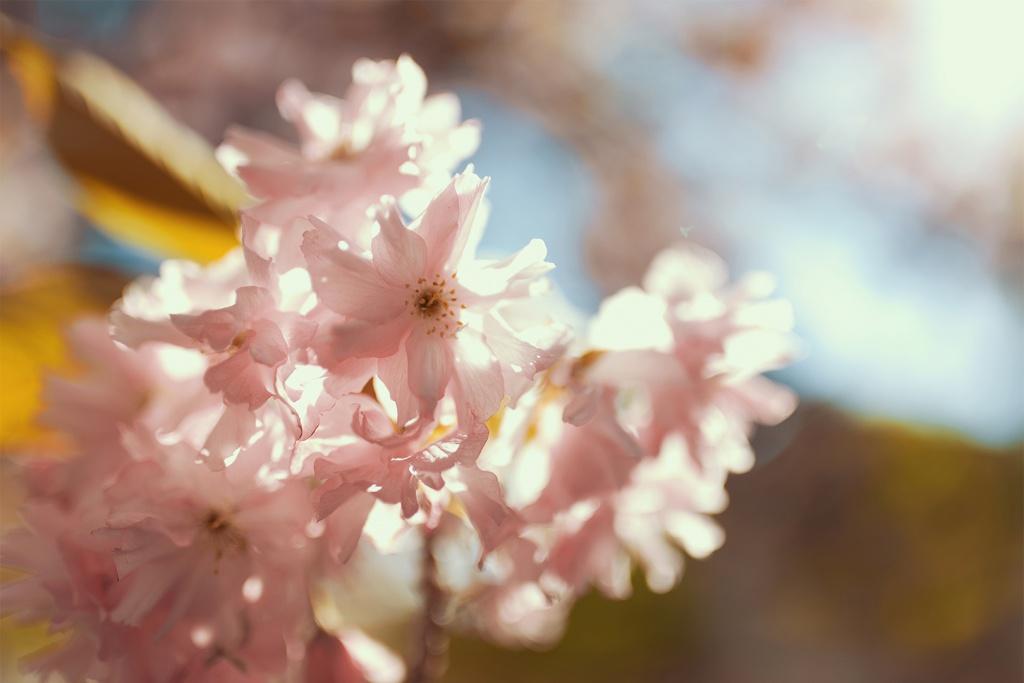 Pinke Kirschblüten