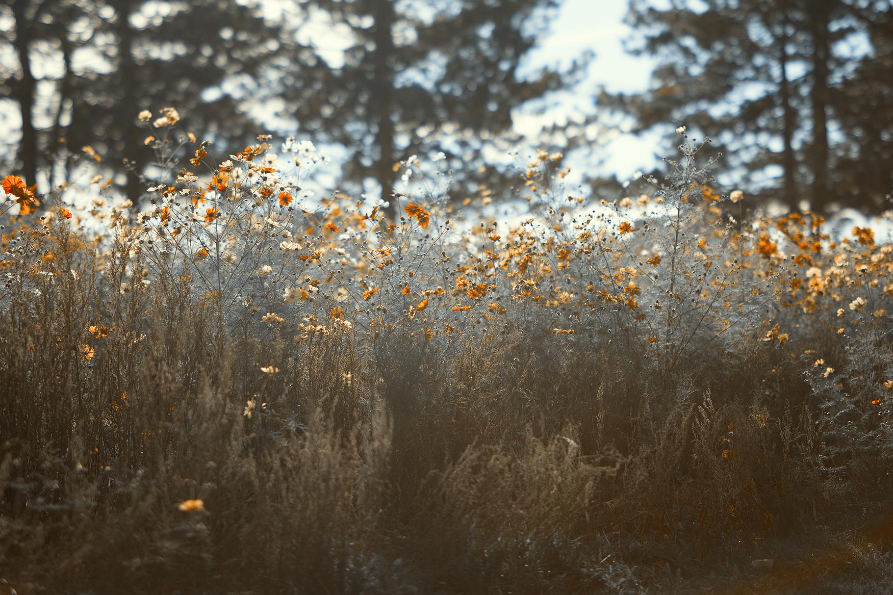 tannen-und-mohnblumen