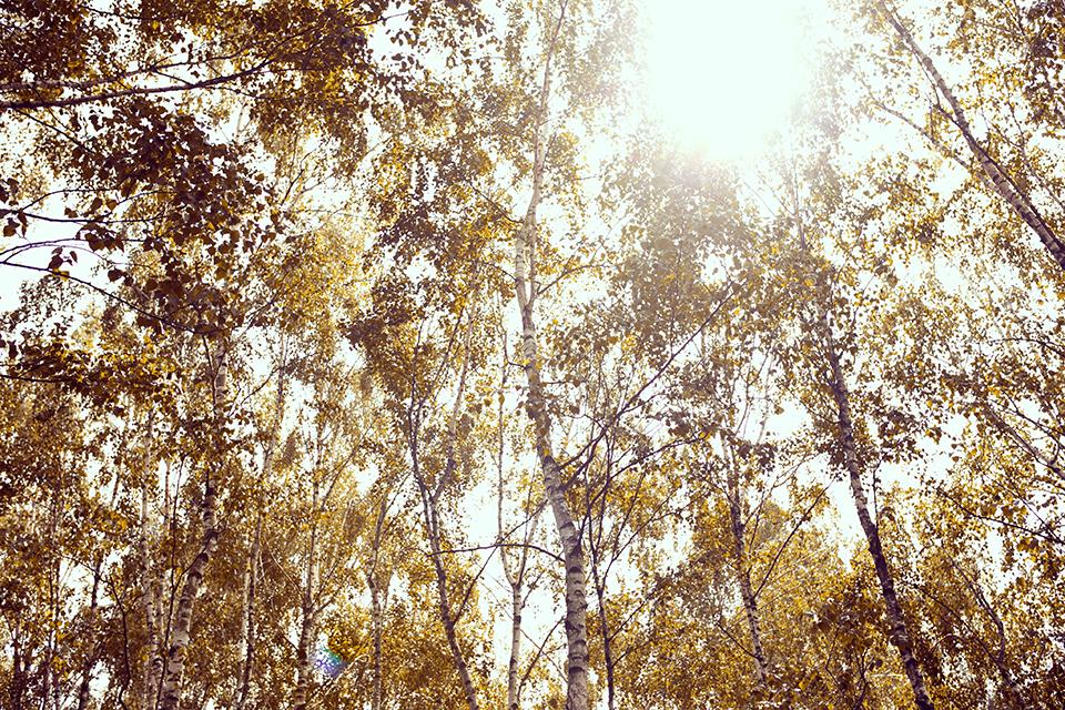 Bäume-in-der-Sonne-Birken