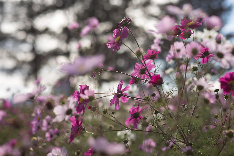 blumenfeld-pink