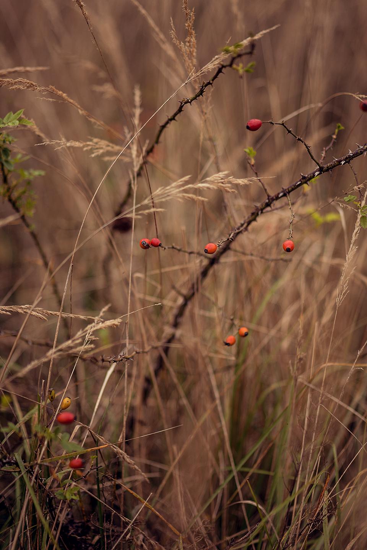 Beeren Strauch rot