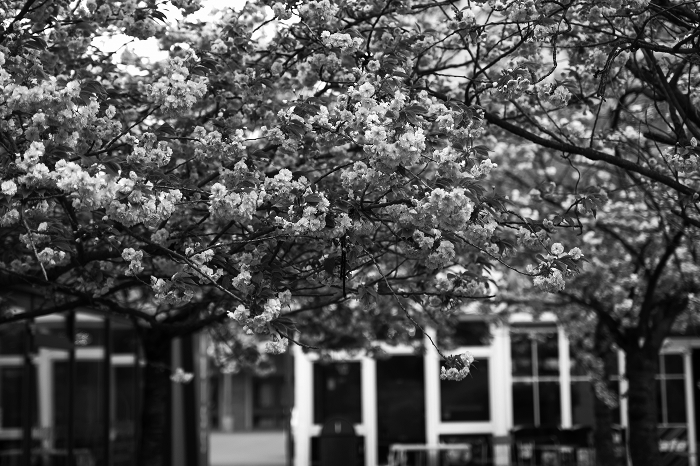 Kirschblüten Bäume