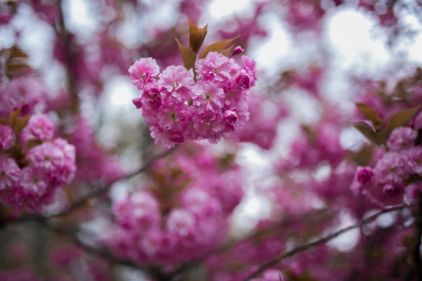 Kirschblüten pink