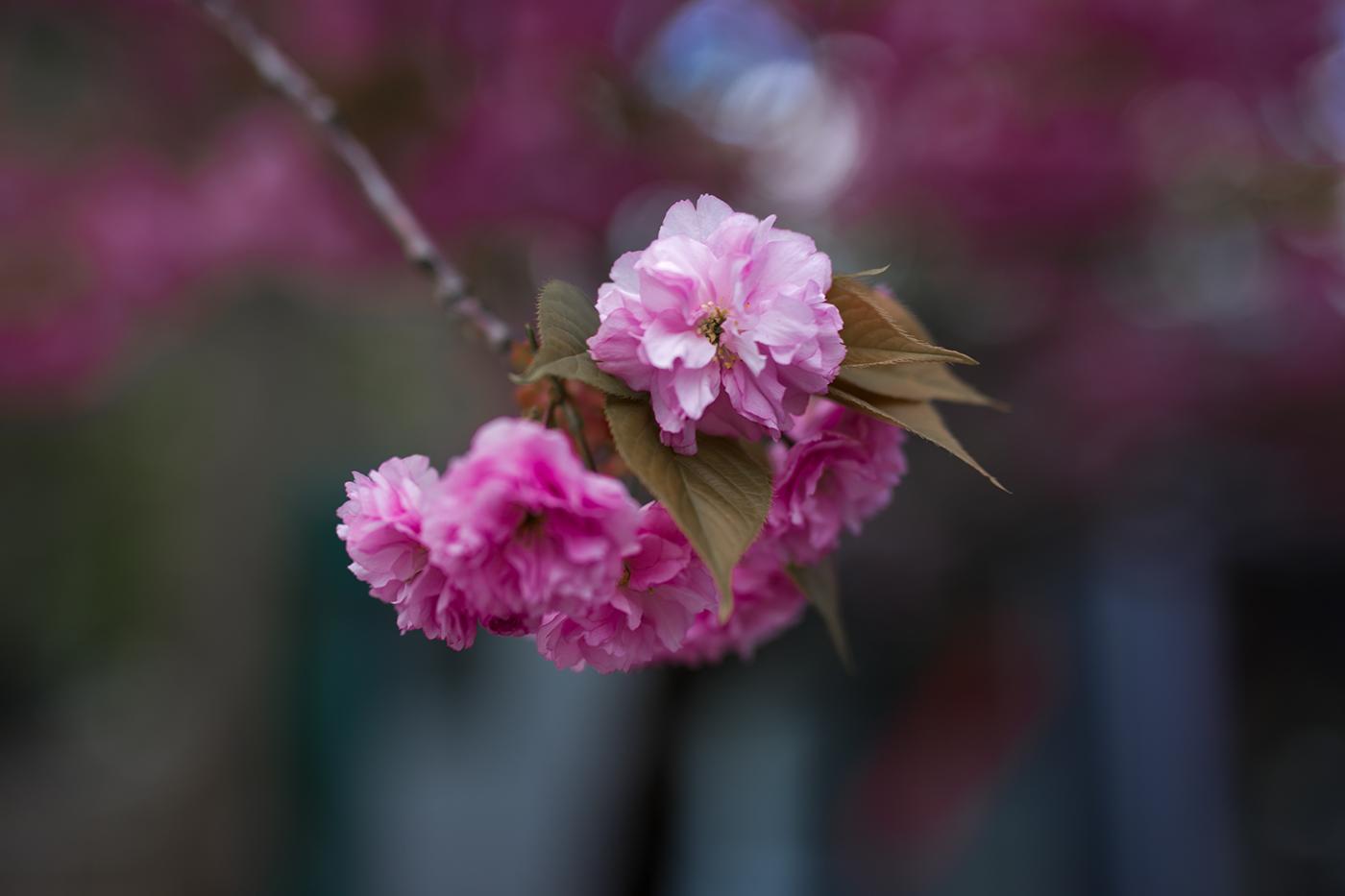 Kirschblüten pink Detail