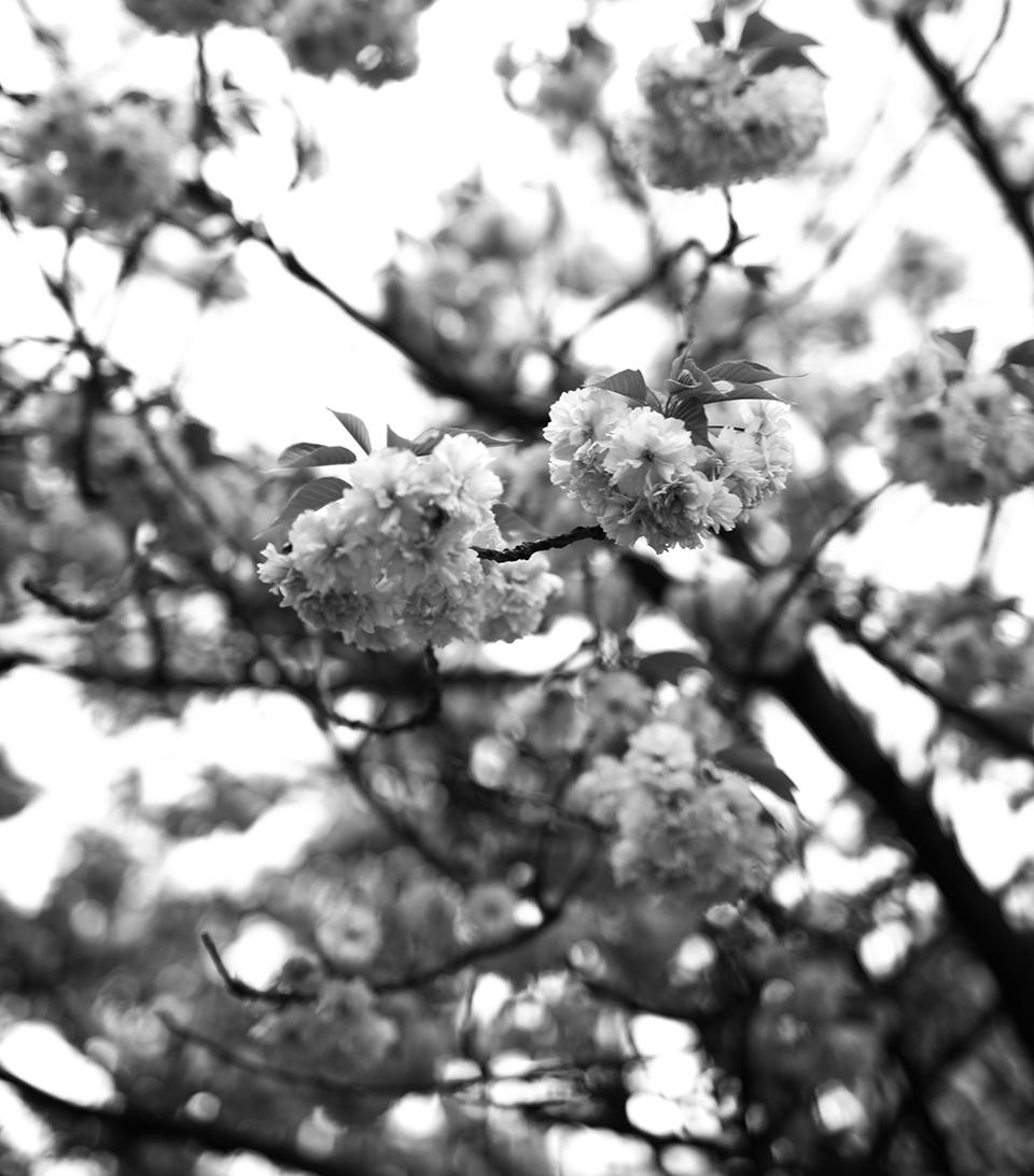 Kirschblüten schwarz weiß Foto