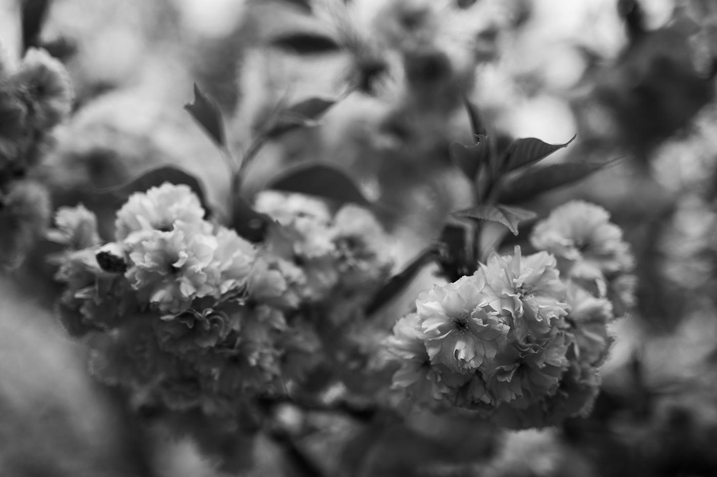Kirschblüten schwarz weiß