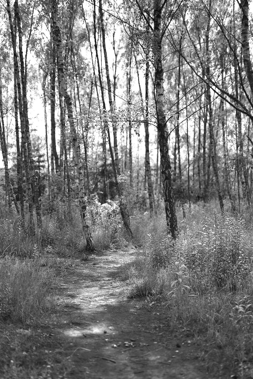 Birken Wald Foto