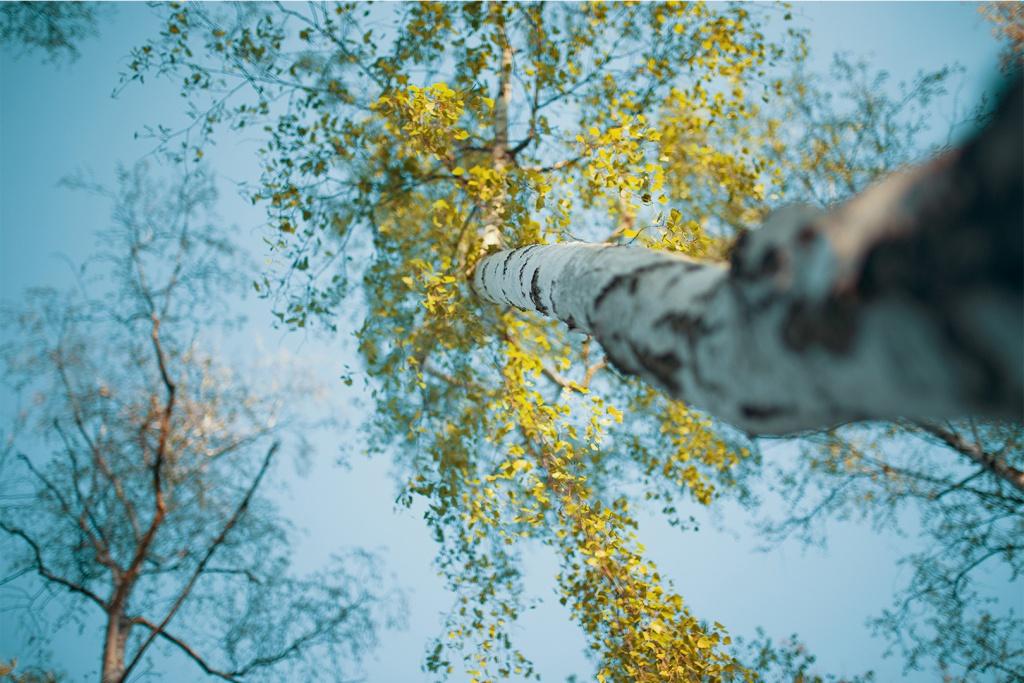 Birken, Fotografie, Natur