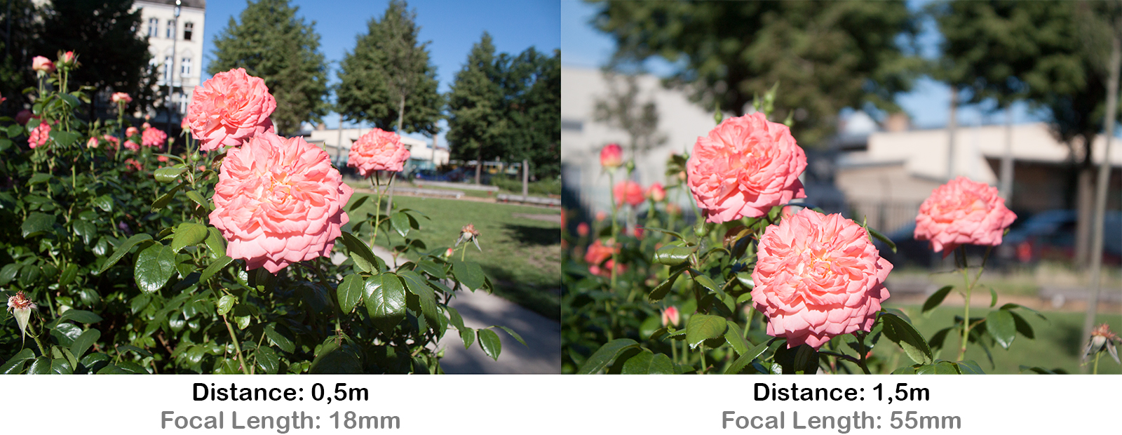 example rose in foreground and trees in background perspective distortion