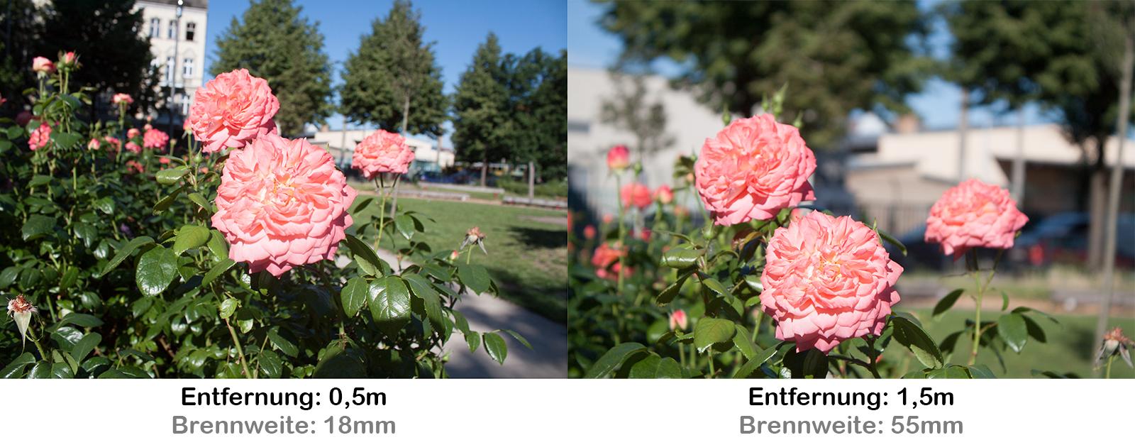 Rose im Hintergrund Bäume Beispiel für perspektivische Verzerrung