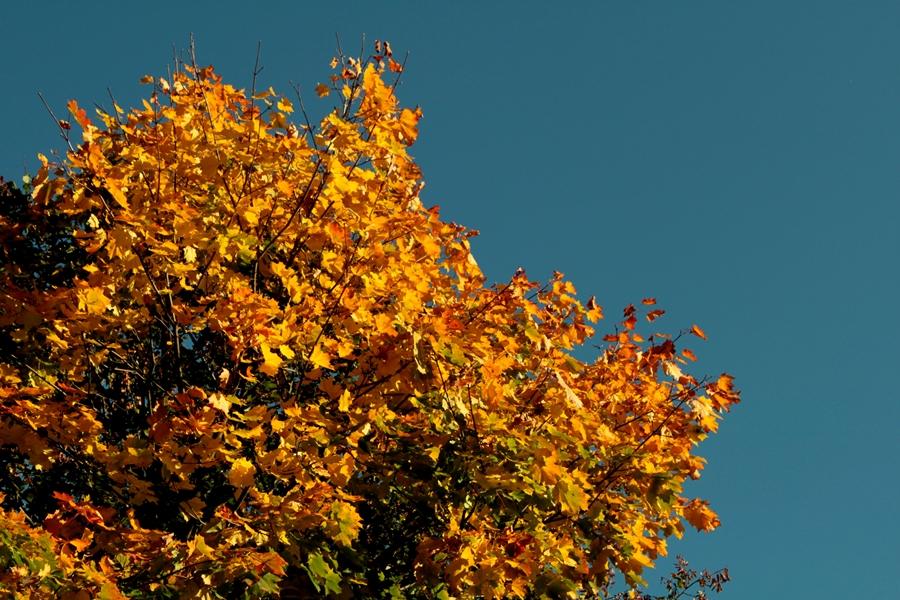 Goldener Baum im Herbst und strahlend blauer Himmel
