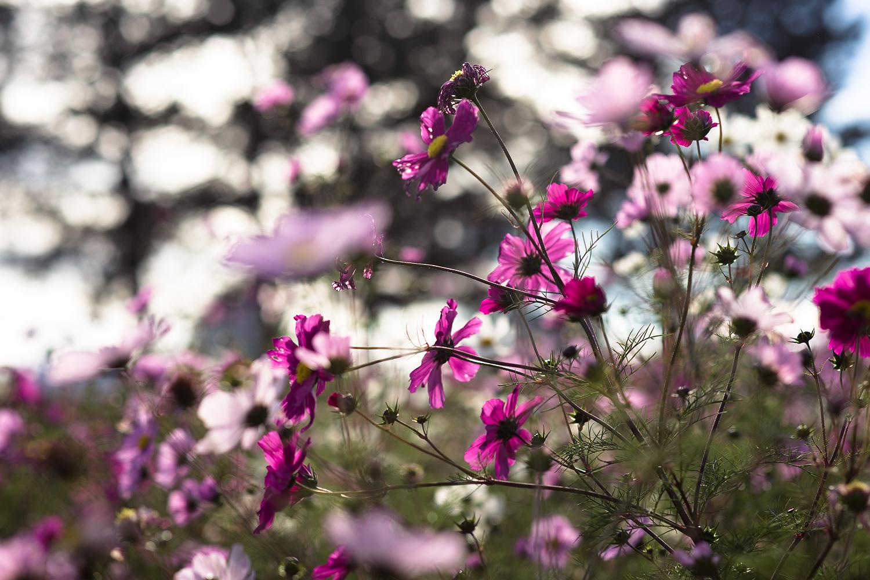 anemonen-blumen-pink