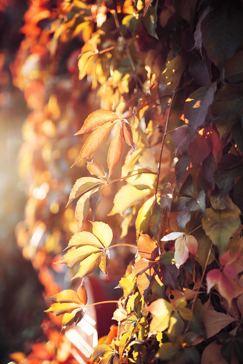 Gegenlicht Aufnahme von Herbst Blätter