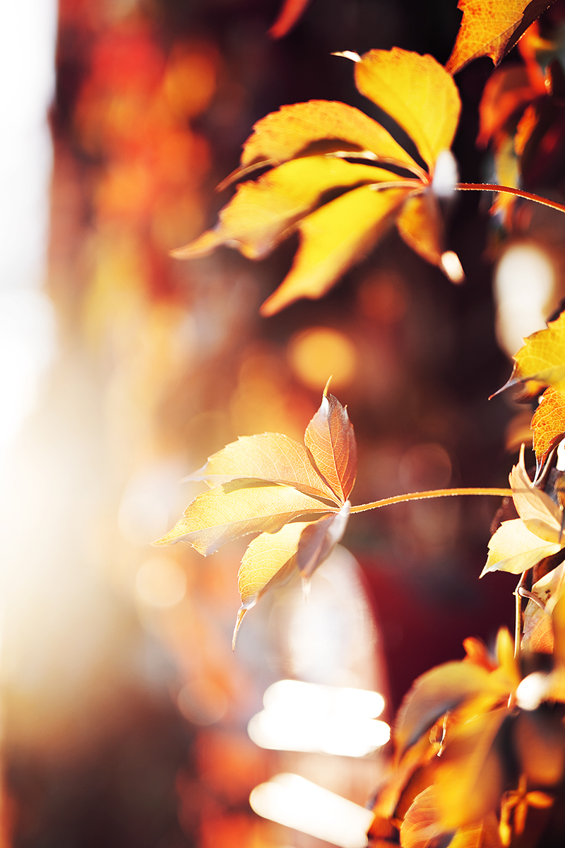 Herbst Blätter Gegenlicht