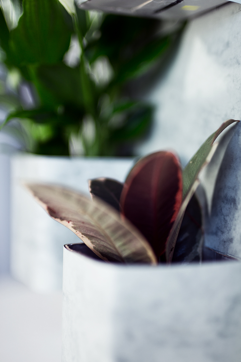Gummibaum im DIY Vertikalen Garten