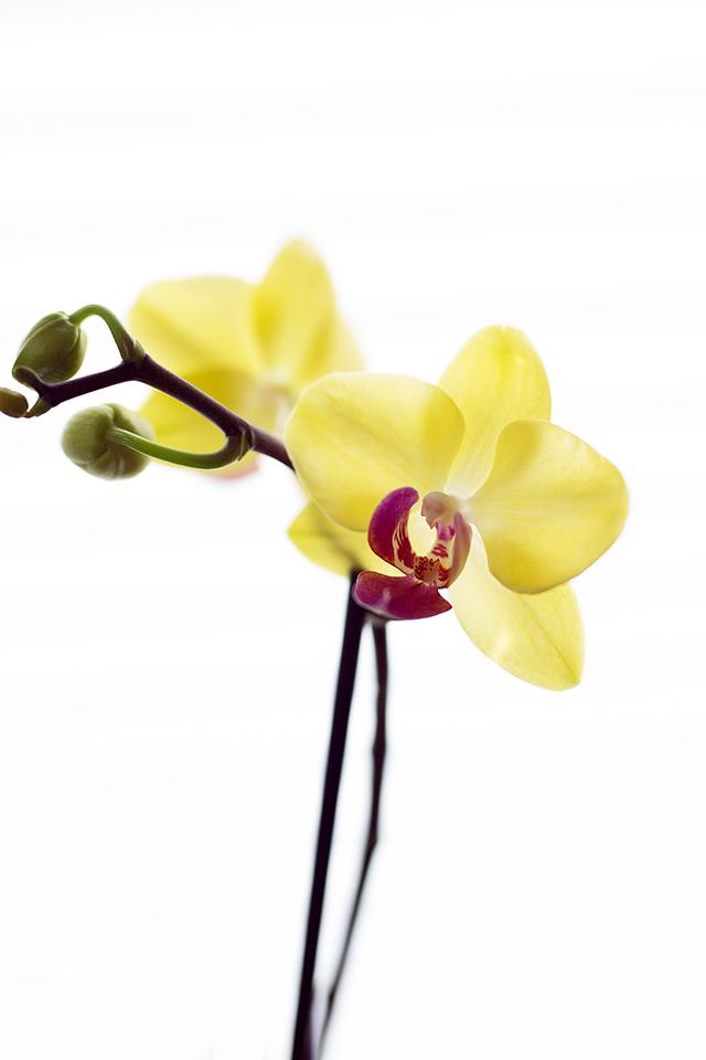 Home Studio Low Budget Fotografie Orchidee