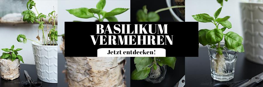 Basilikum vermehren Tipps Ableger
