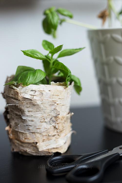 Basilikum vermehren Tipps Ableger Steckling