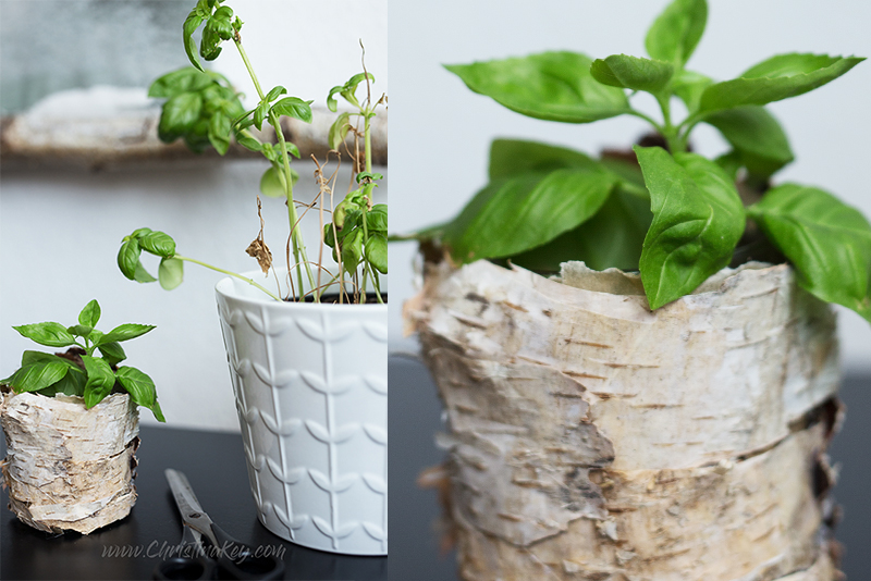 Basilikum vermehren Tipps Ableger ziehen