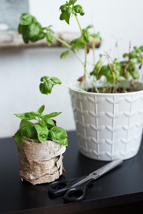 Basilikum vermehren Tipps Steckling