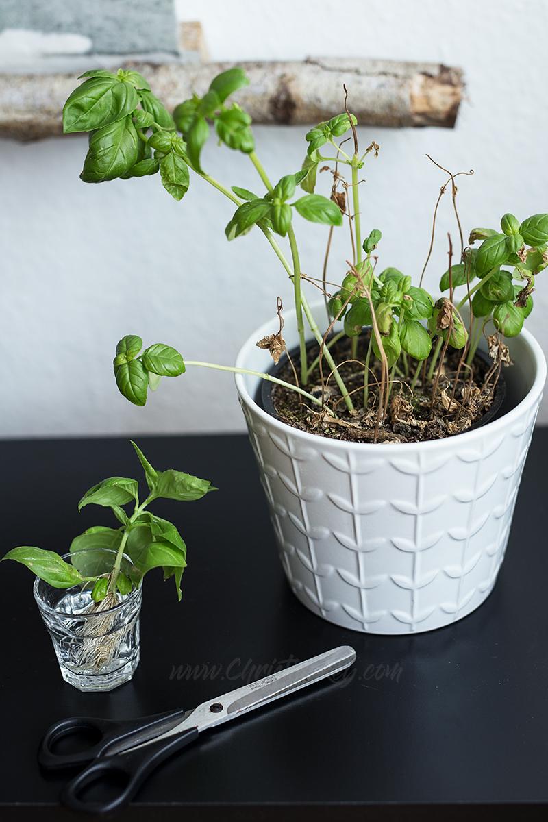 Basilikum vermehren Tipps