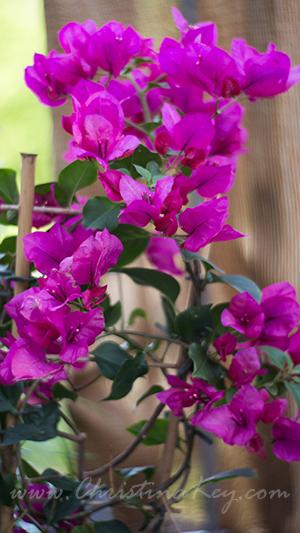 Drillingsblume pink Mallorca Blume