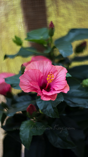 Hibiskus Blume pink