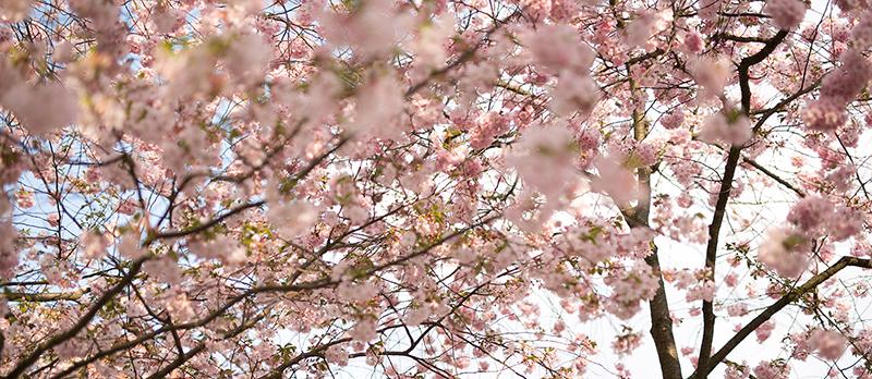 Kirschblüten Locations in Berlin Foto Bäume