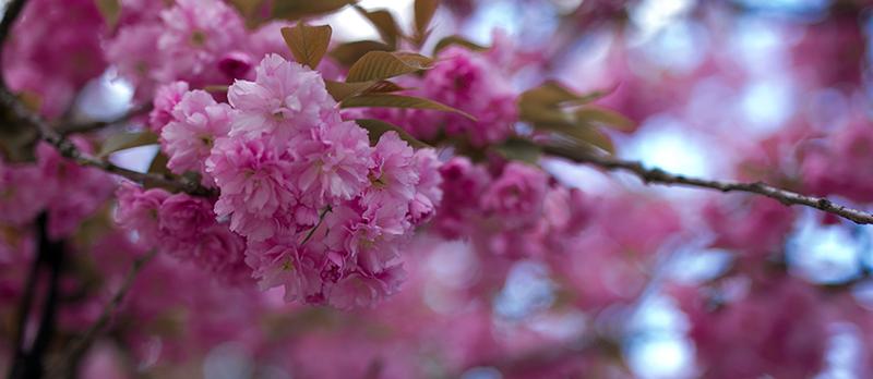 Kirschblüten Locations in Berlin pinke Blüte
