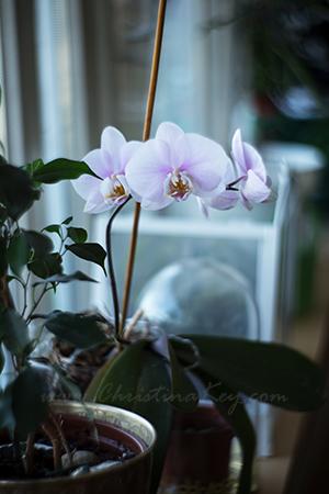 Orchidee rosa