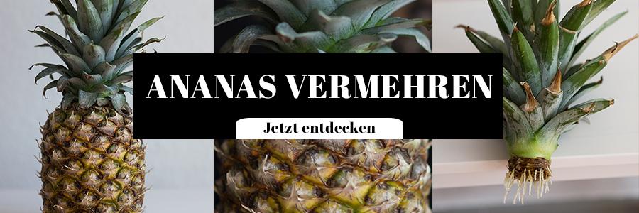 Ananas vermehren