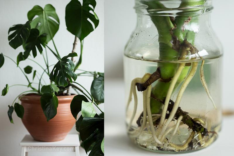 Monstera vermehren - Kreative Fotografie Tipps und Foto Hacks