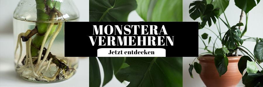 Monstera vermehren