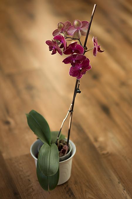 Orchideen Pflege Tipps Blüten