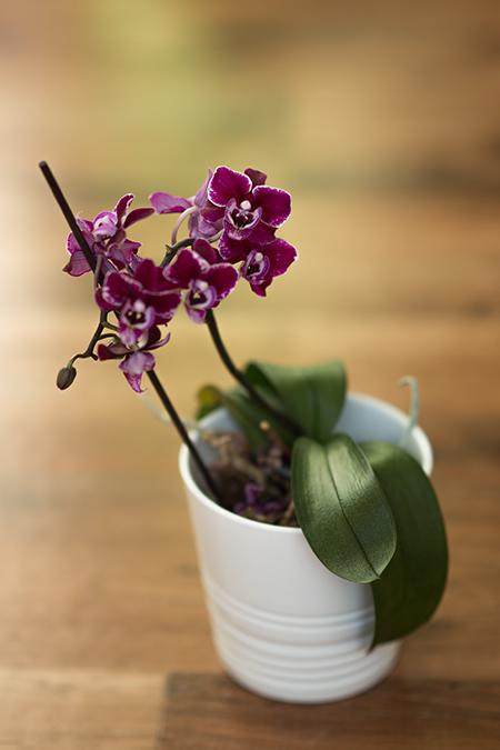 Orchideen Pflege Tipps für schöne Blüten