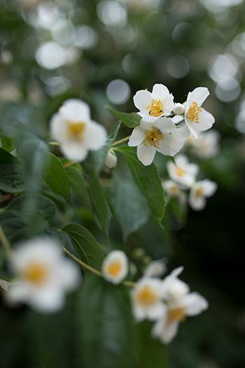 weiße Blüten Foto