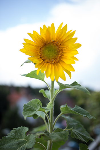 Sonnenblume auf Balkon