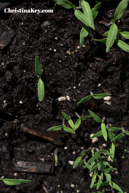 Tomaten pflanzen Anleitung Vorkultivieren