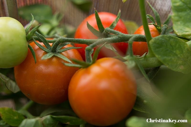 Tomaten pflanzen Anleitung reif