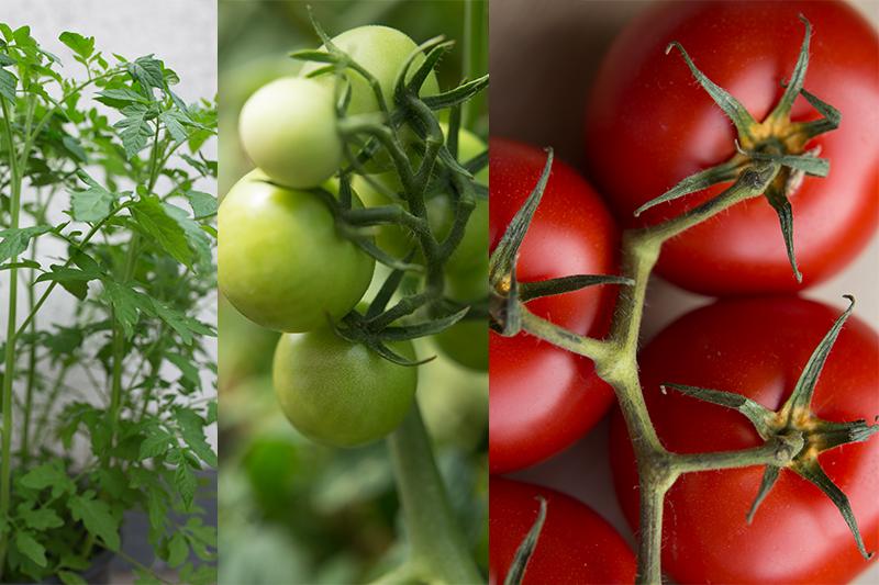 Tomaten pflanzen Anleitung