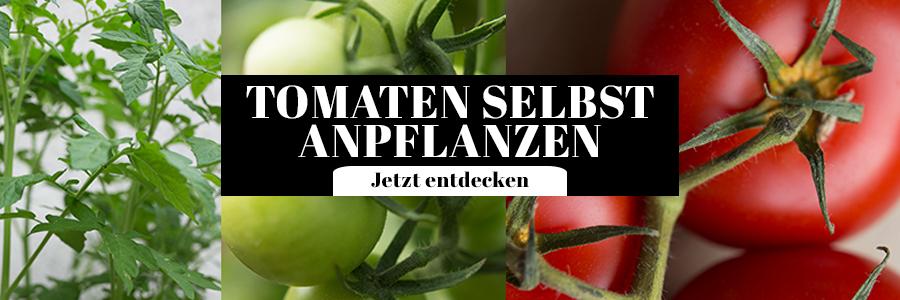 Tomaten selbst anpflanzen