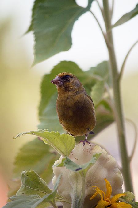 Vogel auf Sonnenblume