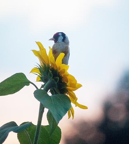 Stieglitz vogel